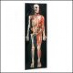 Dimensional Man Anatomical Chart Raised Relief