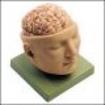 Deluxe Head with Brain Model